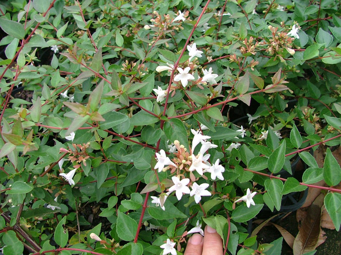 abelia grandiflora hardy glossy small leaves tubular white bell flowers summer orams. Black Bedroom Furniture Sets. Home Design Ideas
