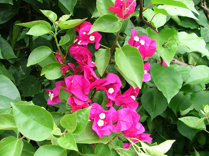 bougainvillea_gloucester_royal