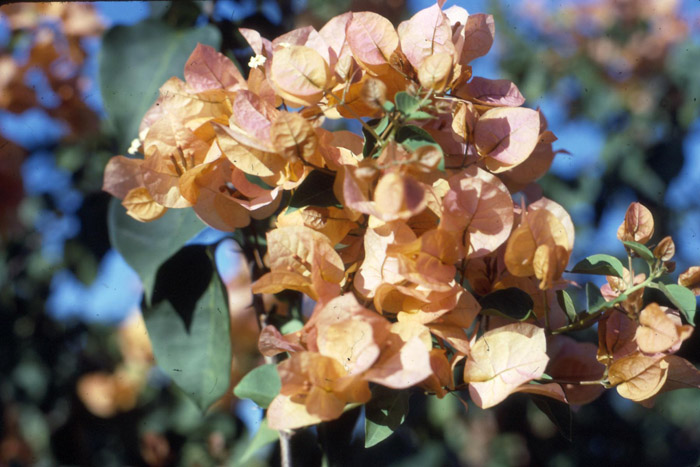 bougainvillea_hawaiian_gold