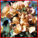 bougainvillea_hawaiian_gold_t