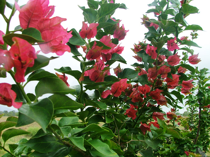 bougainvillea_little_tina