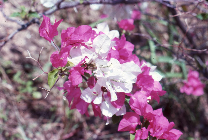 bougainvillea_snow_cap