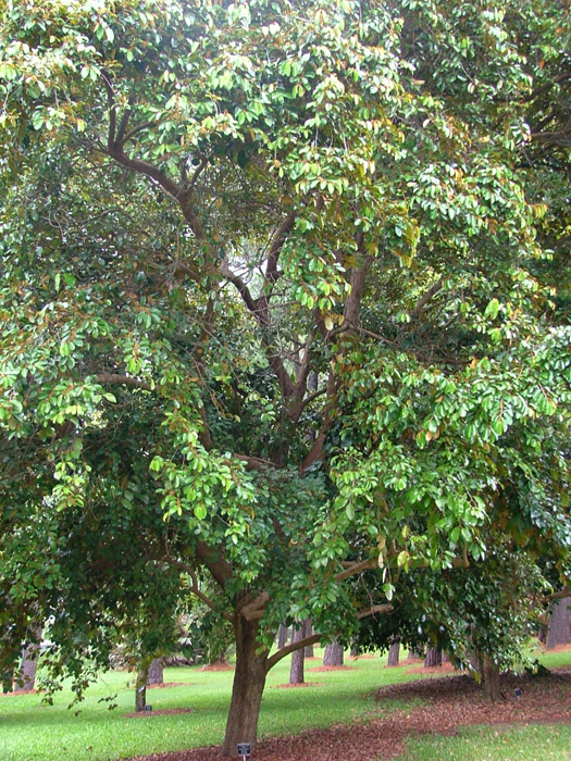 kaymito leaves Star apple leaves medicinal herbs are not common as other leaves but they are  very effective as herbal medicine.