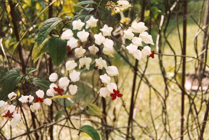 clerodendrum_thomsonae_BleedingHeart