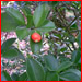 eugenia_reinwardtiana_BeachCherry_t