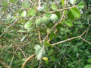 feijoa_sellowiana_PineappleGuava