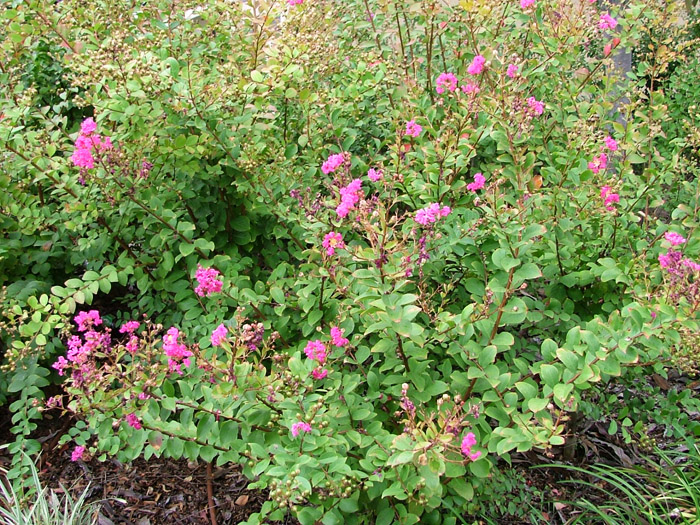 lagerstroemia_indica_LittleChief