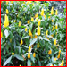 pachystachys_lutea_golden_candles_t
